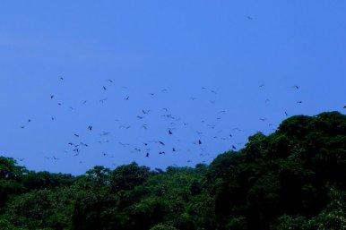 Flying foxes en masse